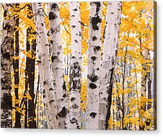 Birch Trees In The Fall Acrylic Print