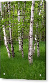 Birch Trees In The Great Meadow, Acadia Acrylic Print