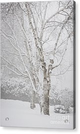 Birch Trees In Winter Acrylic Print by Elena Elisseeva