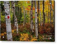Birch Trees Acrylic Print by Todd Bielby