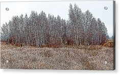 Birch Woods At The Edge Of Town Acrylic Print
