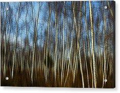 Birches Acrylic Print