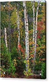 Birches In Fall Acrylic Print