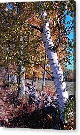 Birches Acrylic Print by Mim White