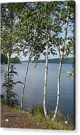 Birches On Sunapee Acrylic Print