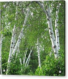 Birches Acrylic Print by Patricia E Sundik