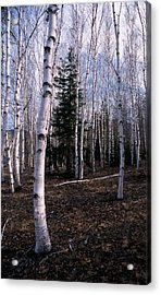 Birches Acrylic Print by Skip Willits