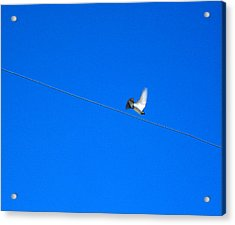 Bird And Wire Acrylic Print