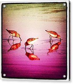 #bird #birds #beach #summer #sunset Acrylic Print