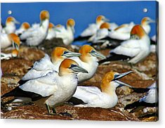 Acrylic Print featuring the photograph Bird Colony Australia2 by Henry Kowalski