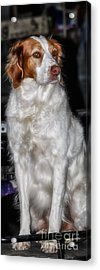 Bird Dog Beauty Acrylic Print by Toma Caul