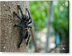 Bird-eater Tarantula / Tarantula Comedora De Aves Acrylic Print by Daniel Castillo