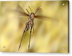 Bird Grasshopper In Flight Acrylic Print by Robert Jensen