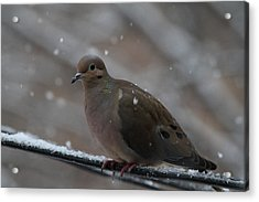 Bird In Snow - Animal - 01138 Acrylic Print by DC Photographer