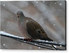 Bird In Snow - Animal - 01139 Acrylic Print by DC Photographer
