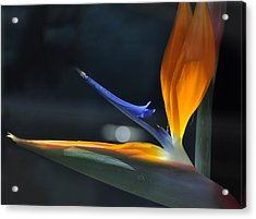 Bird In The Window Acrylic Print