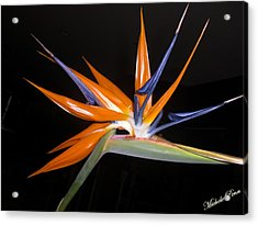 Bird Of Paradise Beauty 4 Acrylic Print