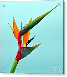 Bird Of Paradise Against Aqua Sky Acrylic Print