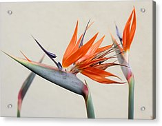 Bird Of Paradise Acrylic Print by Denice Breaux