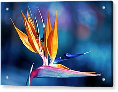 Bird Of Paradise Acrylic Print by Gunter Nezhoda