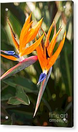 Bird Of Paradise In Flower Acrylic Print