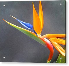 Bird Of Paradise Acrylic Print by Janet McGrath