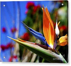 Acrylic Print featuring the photograph Bird Of Paradise Open For All To See by Jerry Cowart