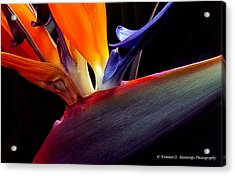 Bird Of Paradise - South African Native  Acrylic Print