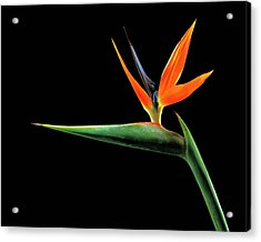 Bird Of Paradise (strelitzia Reginae) Acrylic Print by Gilles Mermet