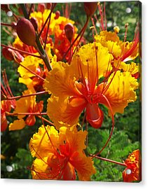 Acrylic Print featuring the photograph Bird Of Paradise by Suzanne Silvir