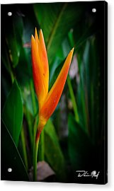 Bird Of Paradise Acrylic Print by William Reek
