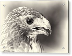 Bird Of Prey Acrylic Print by Dan Sproul