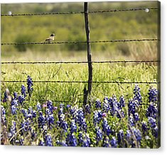Bird On A Fence Acrylic Print
