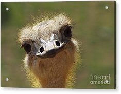 Bird Ostrich Portrait Acrylic Print by Angela Doelling AD DESIGN Photo and PhotoArt