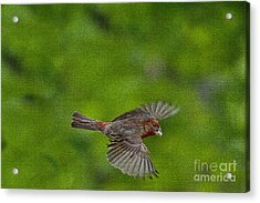 Acrylic Print featuring the photograph Bird Soaring With Food In Beak by Dan Friend