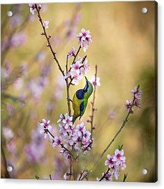 Bird Whispering To The Peach Flower Acrylic Print