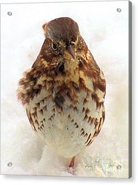 Acrylic Print featuring the photograph Fox Sparrow In Snow by Janette Boyd