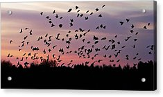 Birds At Sunrise Acrylic Print by Aimee L Maher Photography and Art Visit ALMGallerydotcom