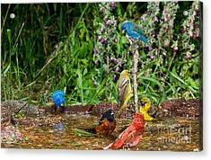 Birds Bathing Acrylic Print by Anthony Mercieca
