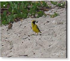 Birds - Ile De La Reunion - Reunion Island Acrylic Print by Francoise Leandre