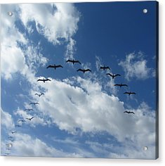 Birds In A V Acrylic Print by Cathy Lindsey