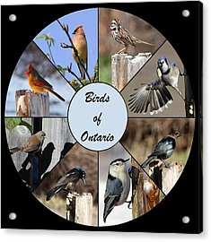 Birds Of Ontario Acrylic Print