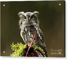 Birds Of Prey Photography Workshop  Feb. 23 2013 Eastern Screech Owl  Acrylic Print by Inspired Nature Photography Fine Art Photography