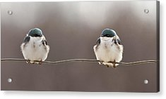 Birds On A Wire Acrylic Print by Lucie Gagnon