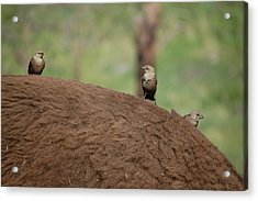 Birds On Back Of Bison Acrylic Print by William Howard