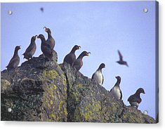 Birds On Rock Acrylic Print by F Hughes