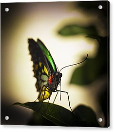 Birdwing Butterfly Acrylic Print by Bradley R Youngberg