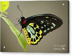 Birdwing Butterfly Acrylic Print