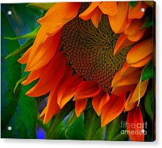 Birth Of A Sunflower Acrylic Print by John  Kolenberg