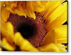 Birth Of A Sunflower Acrylic Print by Stephanie Frey